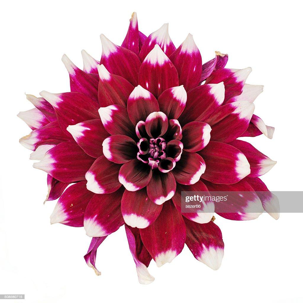 flower and beautiful petals : Bildbanksbilder