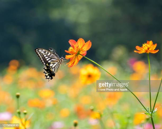 flower and butterfly - cosmos flower stock pictures, royalty-free photos & images