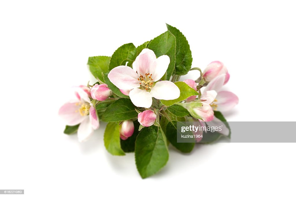 flower and flower buds on apple spring : Stock Photo