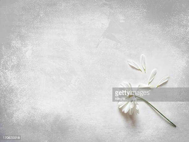 flower and loose petals - she loves me not.... - death stock pictures, royalty-free photos & images