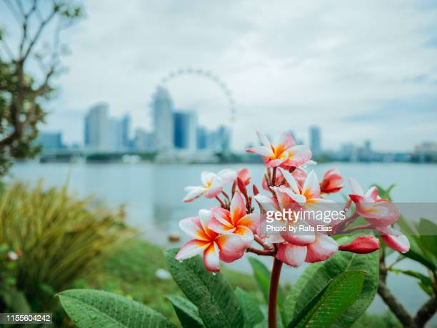 flower and skyline - シンガポール文化 ストックフォトと画像