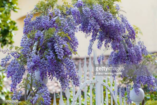 flower arch with fence - glycine photos et images de collection