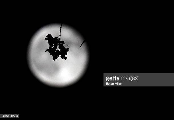 A flower at the end of a tree branch is silhouetted in front of the third supermoon of the summer on September 9 2014 in Las Vegas Nevada A supermoon...
