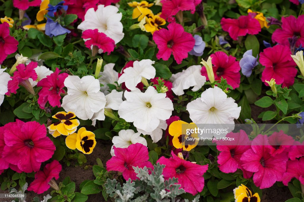 Flower Bed With Lot Of Different Colors Petunias In Park High Res Stock Photo Getty Images