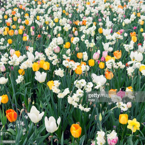 Flower bed with narcissus and tulips in springtime.