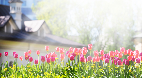 A flower bed with pink and purple tulips in the rays of sunlight against the backdrop of a beautiful white house with a sloping roof. Gardening, panoramic view 1131568052