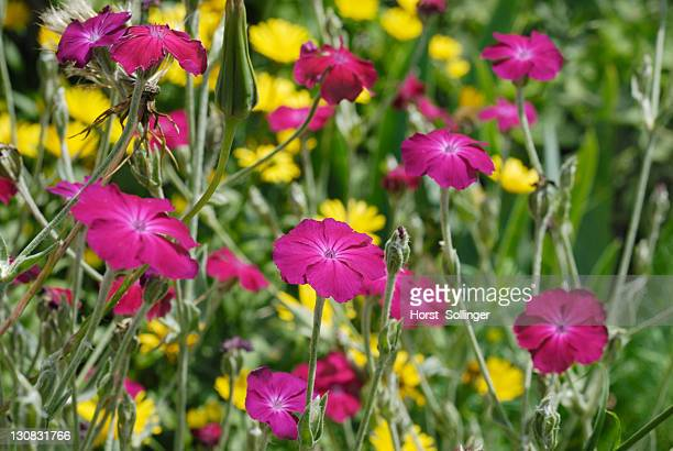 Flower bed with purple flowers of the Crown Campion (lychnis coronata), yellow flowers of an Ox-eye Daisy (Buphthamum salicifolium) in the back