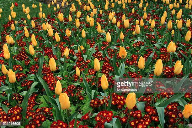 Flower bed/yellow tulips and red flowers
