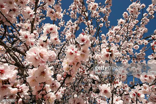 Flower blossoms on a tree are seen on the first day of spring September 1 2009 in Canberra Australia In the Southern Hemisphere Spring runs from...