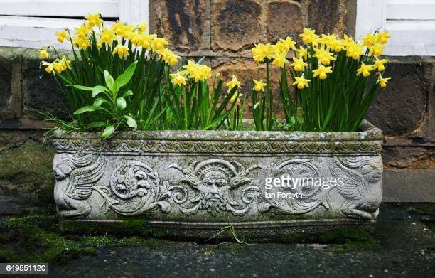 A flower box filled with daffodils outside a home in Robin Hood's Bay on the North Yorkshire coast on March 8 2017 in Robin Hood's Bay United Kingdom...