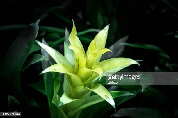 flower: bromeliad flower - bromeliad ストックフォトと画像