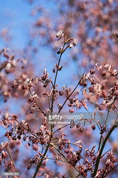Flower Buds on Ash Leaved Maple Tree.