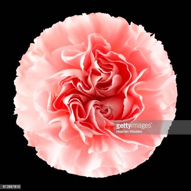 Flower carnation 01