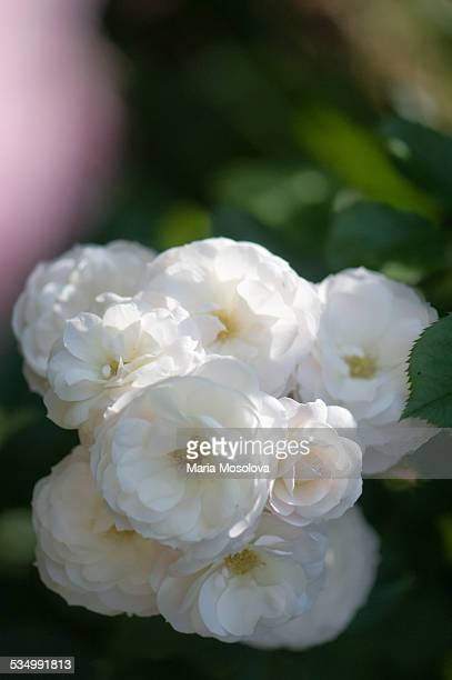 Flower Cluster of Musk Rose Bouquet Parfait