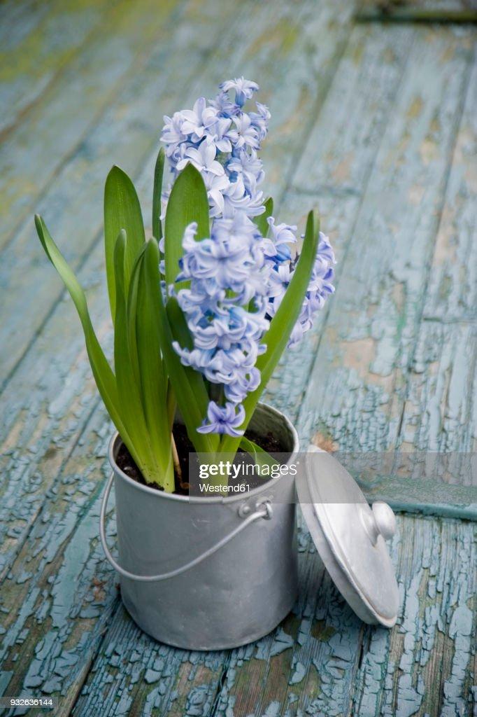 Flower decoration, hyacinth in metal pot : Stock-Foto