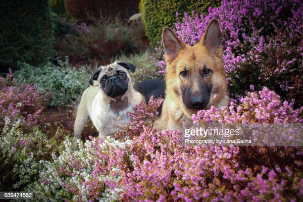 flower dogs - german shepherd stock pictures, royalty-free photos & images