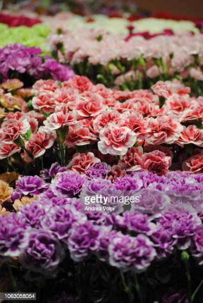 flower explosion / fiori - cravo cravo da china imagens e fotografias de stock