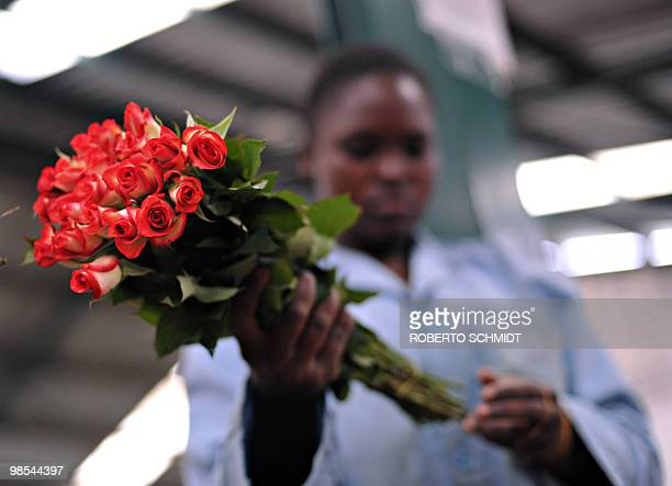 A flower farm worker removes the rubber band used to keep a bunch of fresh flowers together in packing before the roses were discarded at a flower...