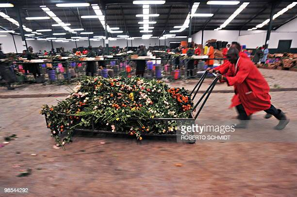 Flower farm workers push a cart loaded with fresh roses that were taken from a cold storage room and discarded at a flower exporter's farm in...