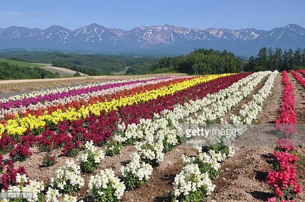 Campo de flores de Furano