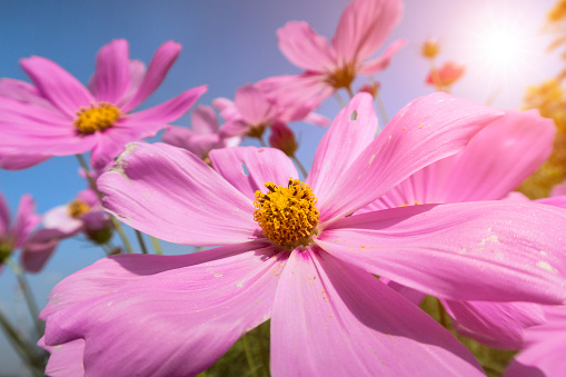 Flower field of pink cosmos flowers with sunrise - gettyimageskorea