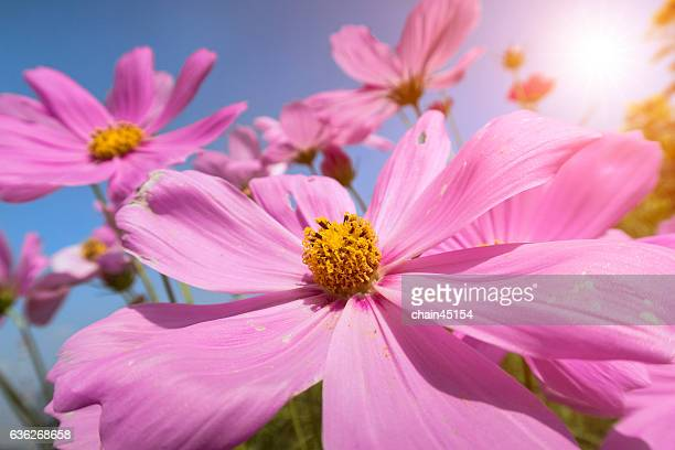 flower field of pink cosmos flowers with sunrise - cosmos flower stock photos and pictures