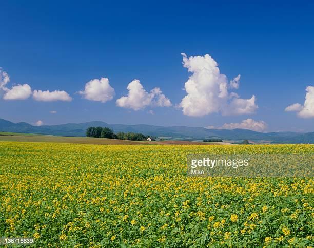 Flower Field of Yellow Mustard, Biei, Hokkaido, Japan