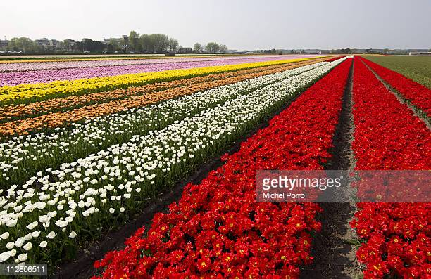 Flower fields in full bloom on April 21 2011 in Lisse Netherlands Tourists from all over the world flock down on the so called Bulb area and the...