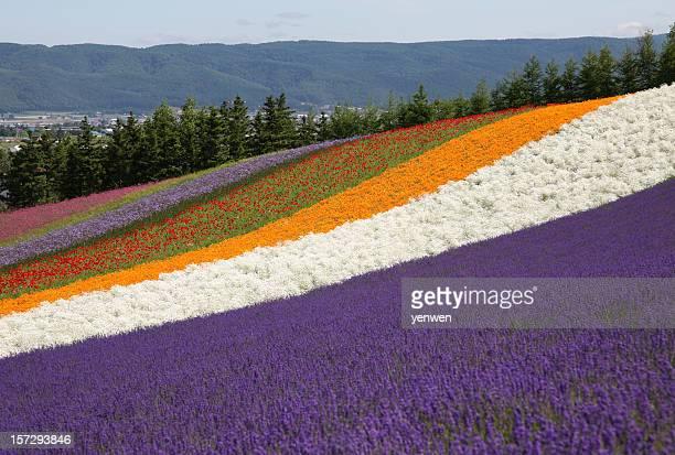 Flower Fields in Hokkaido, Japan