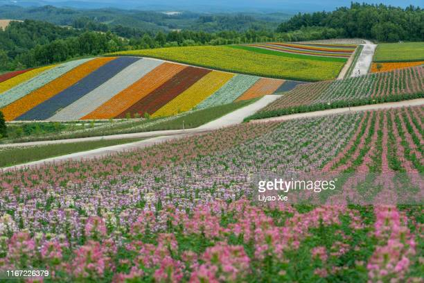 flower fields in hokkaido - biei town stock pictures, royalty-free photos & images