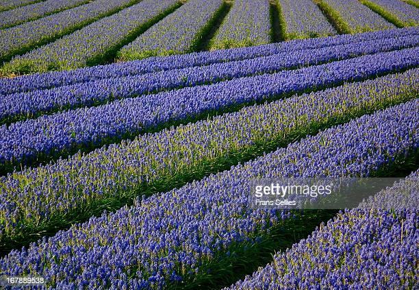 flower fields in holland - frans sellies stockfoto's en -beelden