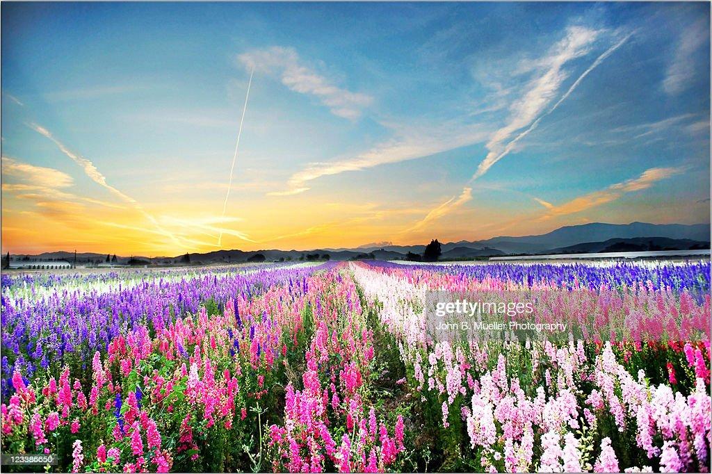 Flower fields : Stock Photo