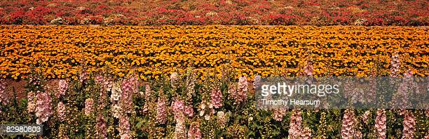 flower fields with multiple colors and varieties - timothy hearsum fotografías e imágenes de stock