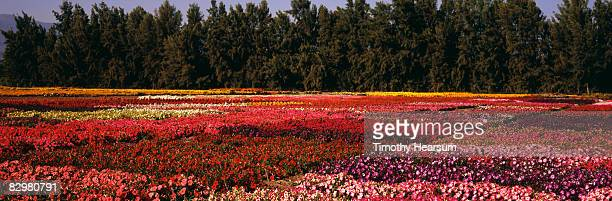 flower fields with multiple varieties and colors - timothy hearsum stock pictures, royalty-free photos & images