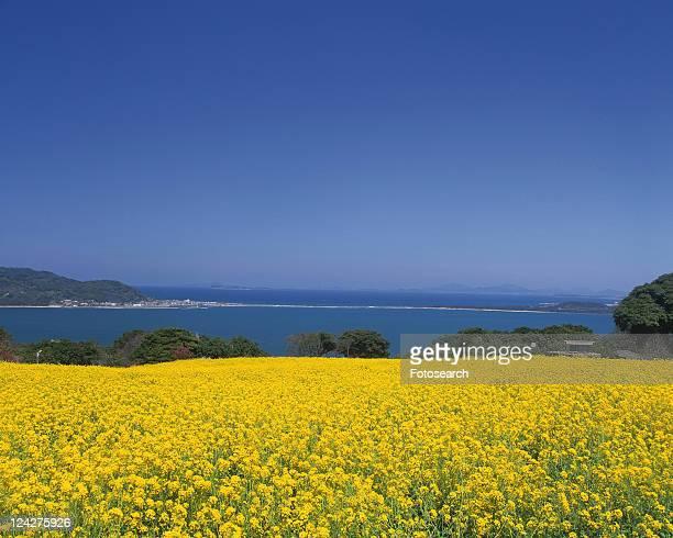 flower garden of rape in nokonoshima island park, fukuoka - brassica stock photos and pictures