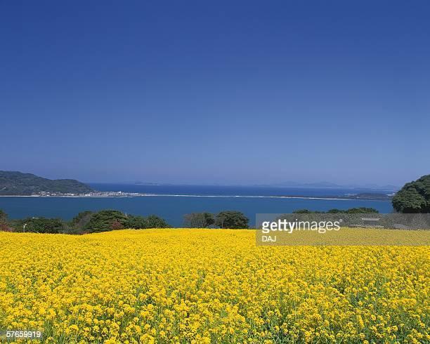 flower garden of rape in nokonoshima island park, fukuoka - 福岡県 ストックフォトと画像