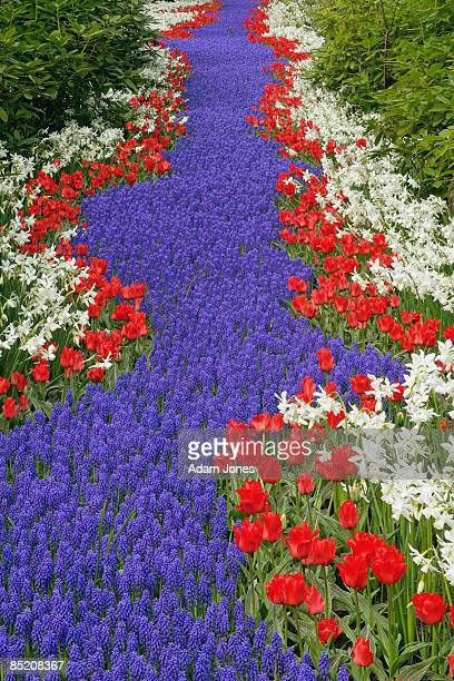 flower garden - keukenhof gardens stock pictures, royalty-free photos & images
