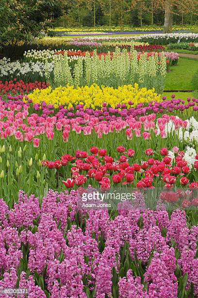 flower garden - tulips and daffodils stock pictures, royalty-free photos & images