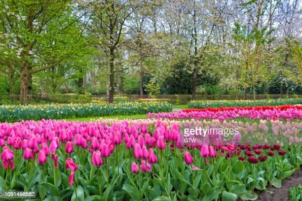 flower garden with multi-colored tulips (tulipa) in bloom, keukenhof gardens exhibit, lisse, south holland, the netherlands - keukenhof gardens stockfoto's en -beelden