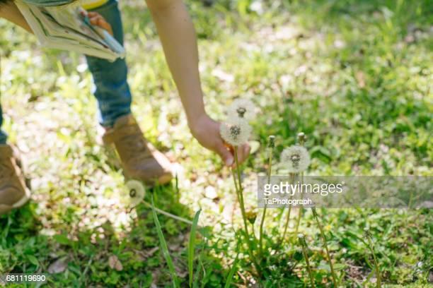 flower gathering - feuille de pissenlit photos et images de collection