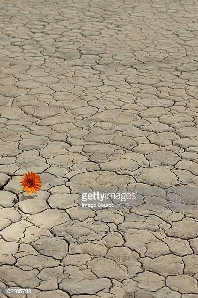 flower growing in desert landscape - el mirage dry lake stock photos and pictures