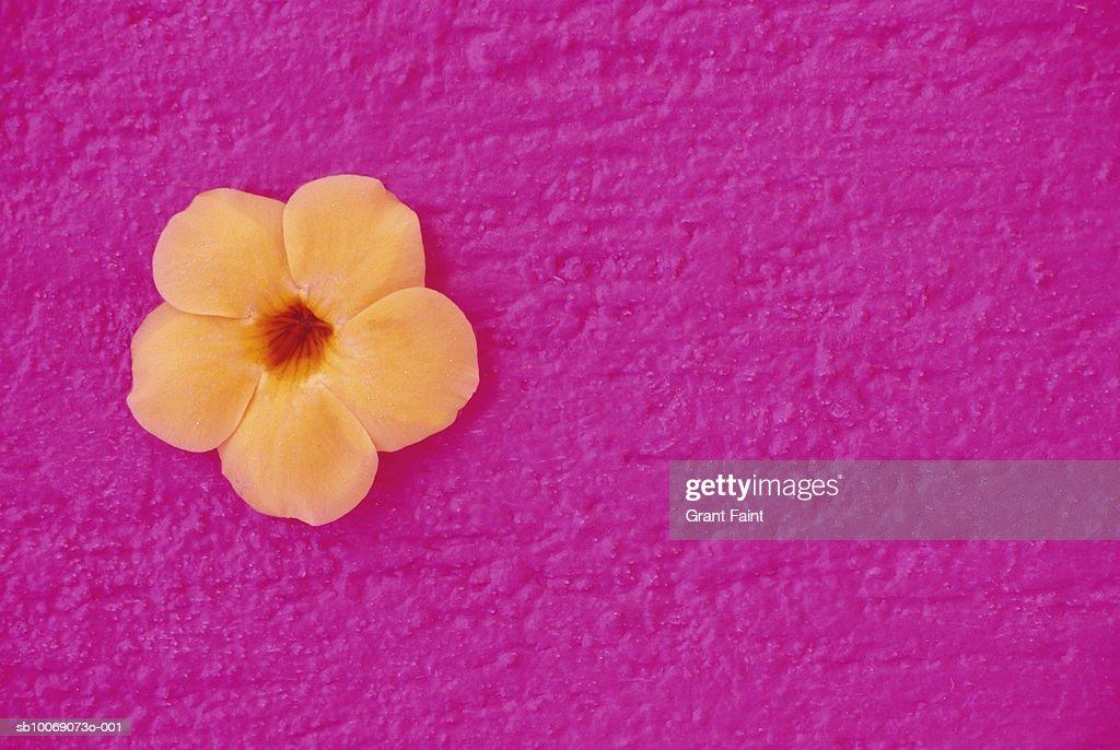 Flower head on pink wall : Stockfoto