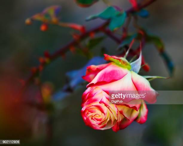 flower immersion - california dreaming - gratis - fotografias e filmes do acervo