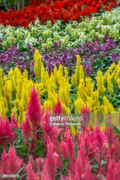 flower immersion - cockscomb flowers. - cockscomb plant - fotografias e filmes do acervo