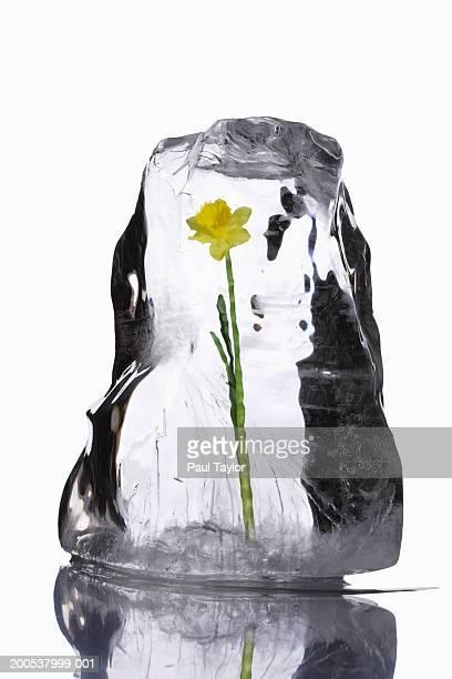 Flower in block of ice