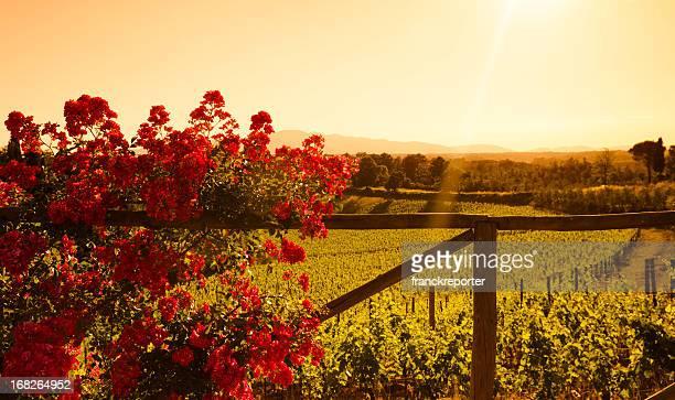 Fleur dans la Région de Chianti Vignoble sur les collines de la Toscane au coucher du soleil