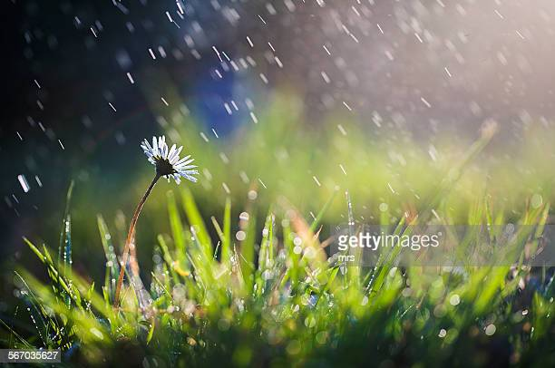 flower in rain - rain stockfoto's en -beelden