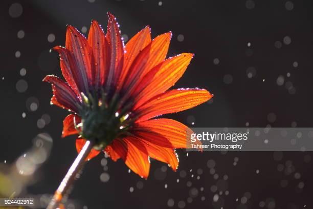 flower in rain - イスラマバード ストックフォトと画像