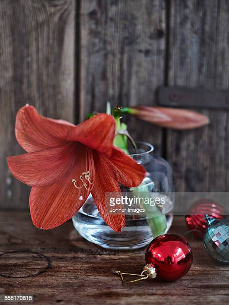 flower in vase - amaryllis stock pictures, royalty-free photos & images
