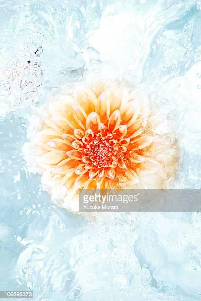 flower in water - fragilità foto e immagini stock